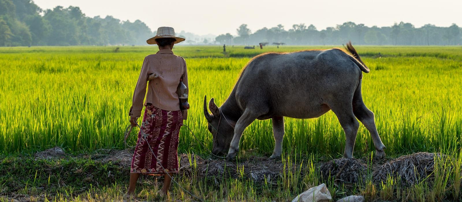 Rice field in Siem Reap, Cambodia Apr 2016 - culture in Cambodia