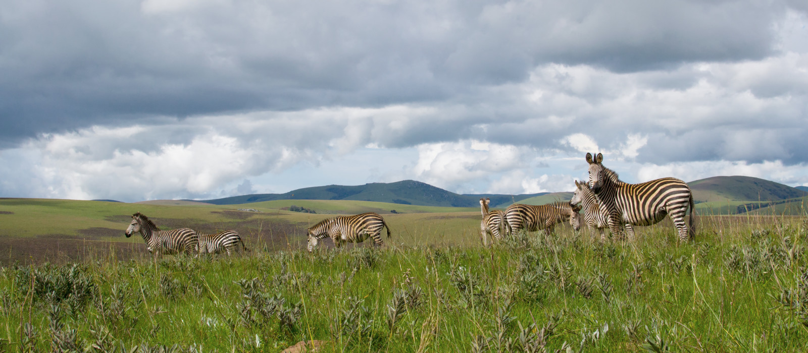 Herd of zebra's standing in the plains and nature of Nyika national park, Malawi, Africa