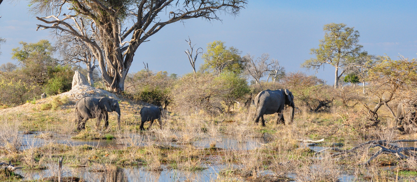 small herd of elephants walking through Botswana Okanvango delta with grasses and tree in background