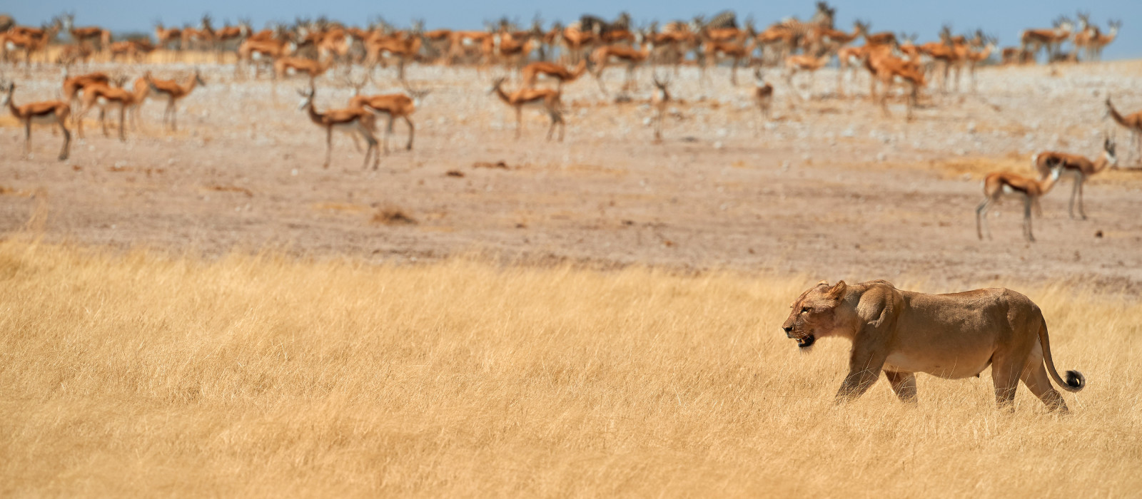 Lioness, Panthera leo, walking in dry savanna against herds of springbok antelopes of Etosha national park, Namibia, Africa