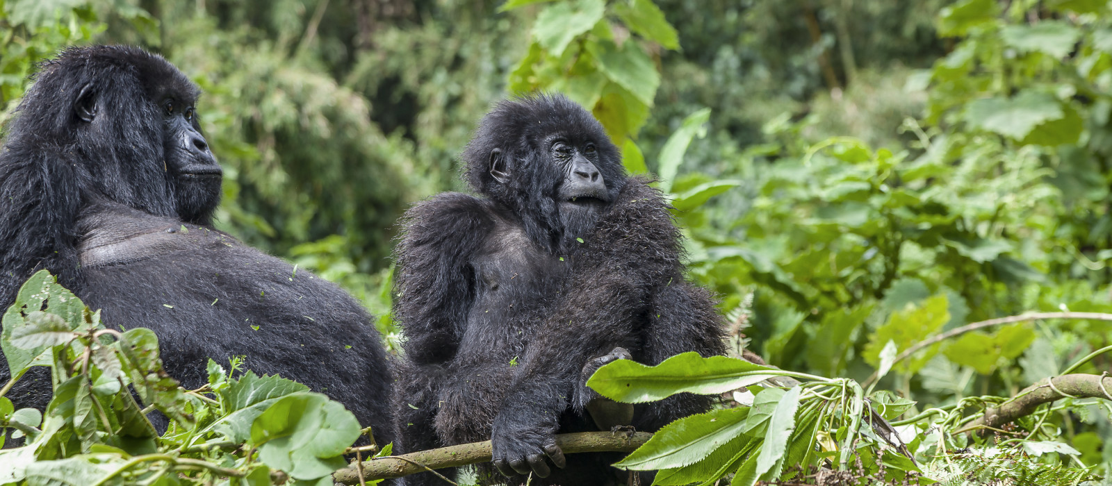 Schwangere Mama Gorilla und junior Silberrücken des Arbeitskreises Sabinyo Volcanoes-Nationalpark, Ruanda, Afrika