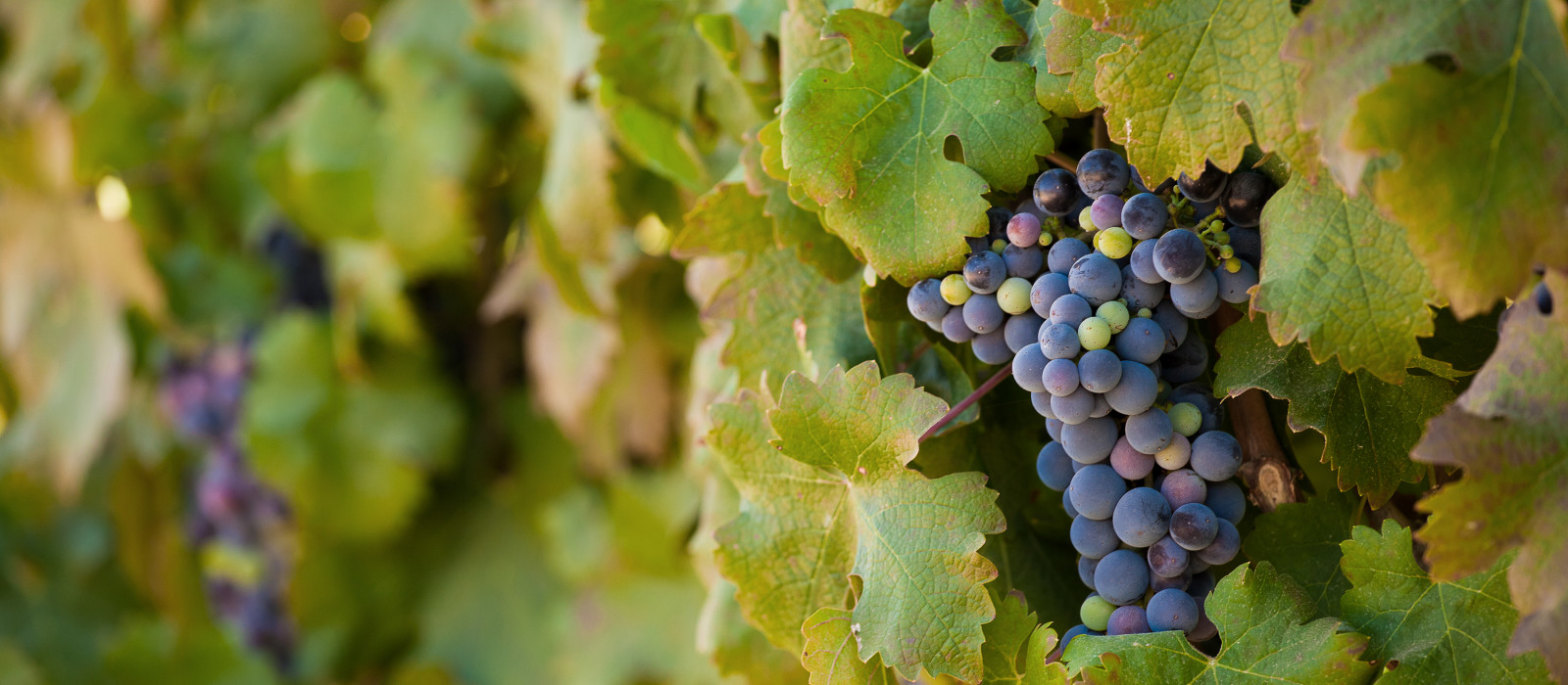 Trauben, die kurz vor der Weinlese in den Weinbergen Südafrikas in der Rebe hängen