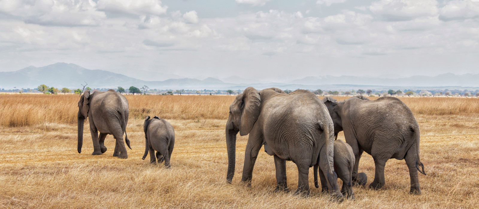 Elephants walking in a row in Mikumi National park, Tanzania, Africa - best luxury vacation spots in the world