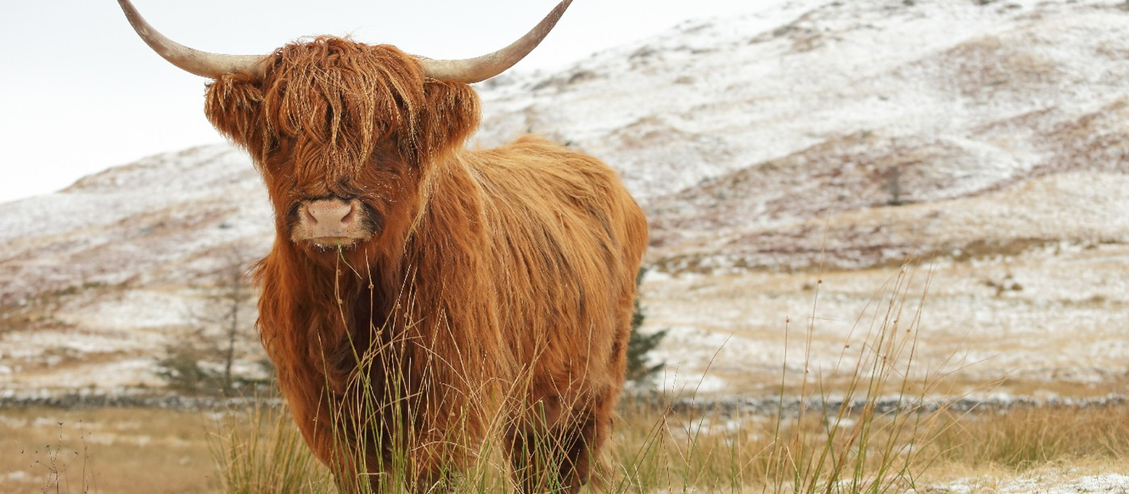Scottish Highland Cow on a snow covered landscape in the highlands of Scotland
