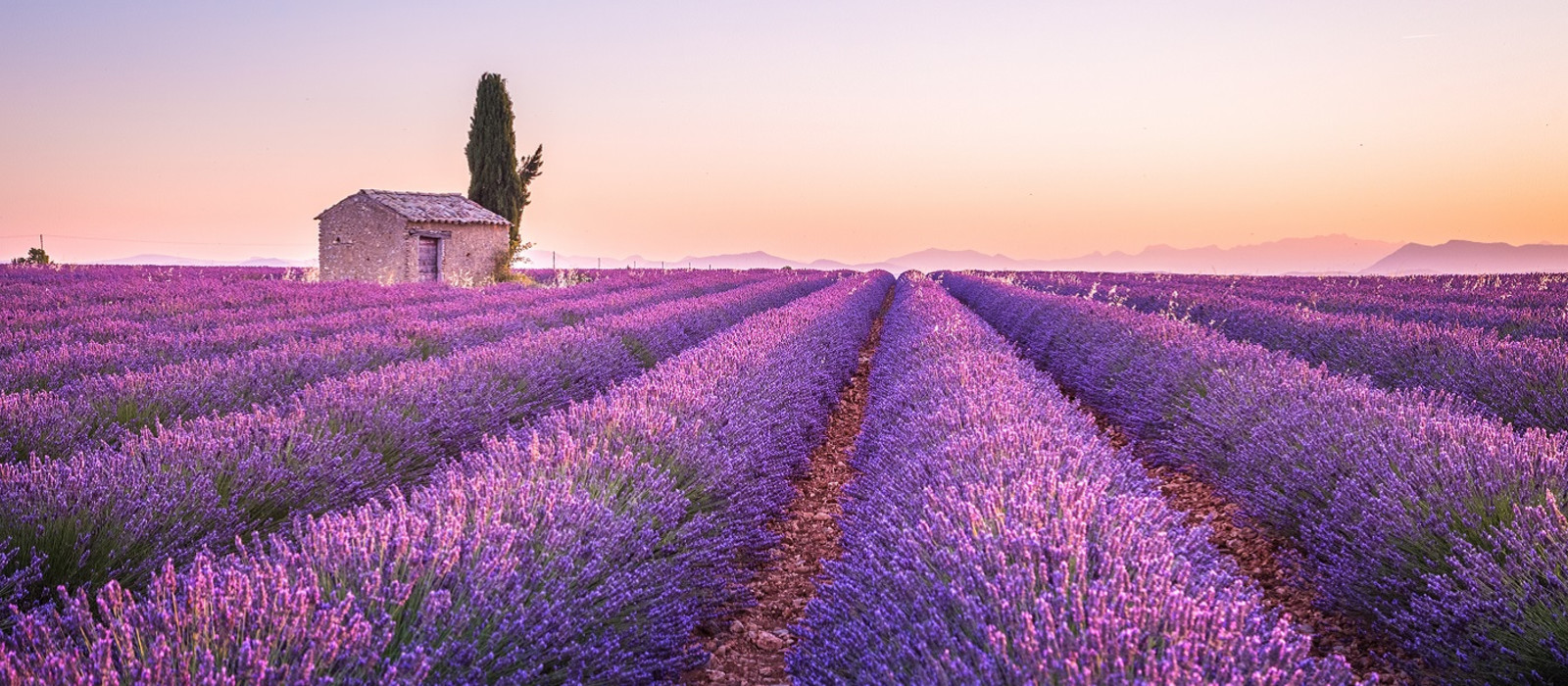 Valensole lavender fields, Provence, France, Europe