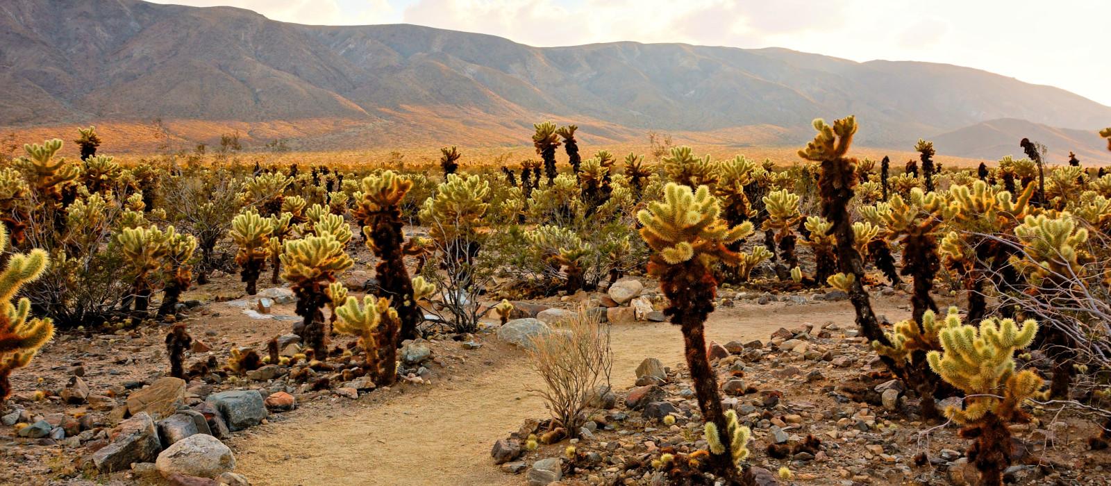 Cholla-Kaktusgarten bei Sonnenuntergang im Joshua-Tree-Nationalpark, Kalifornien, USA