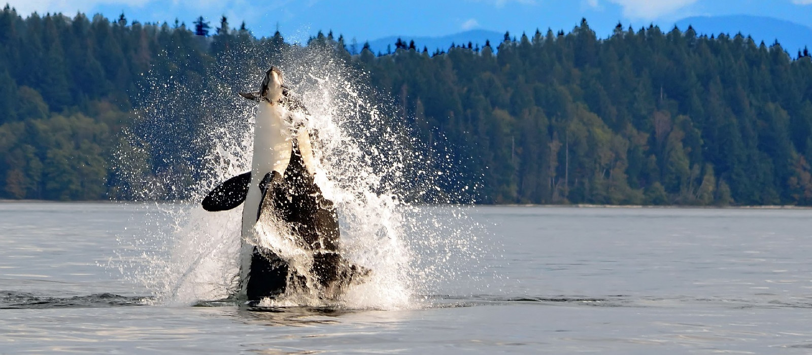 Dramatic photo of orca breaching in discovery channel with a mountain backdrop
