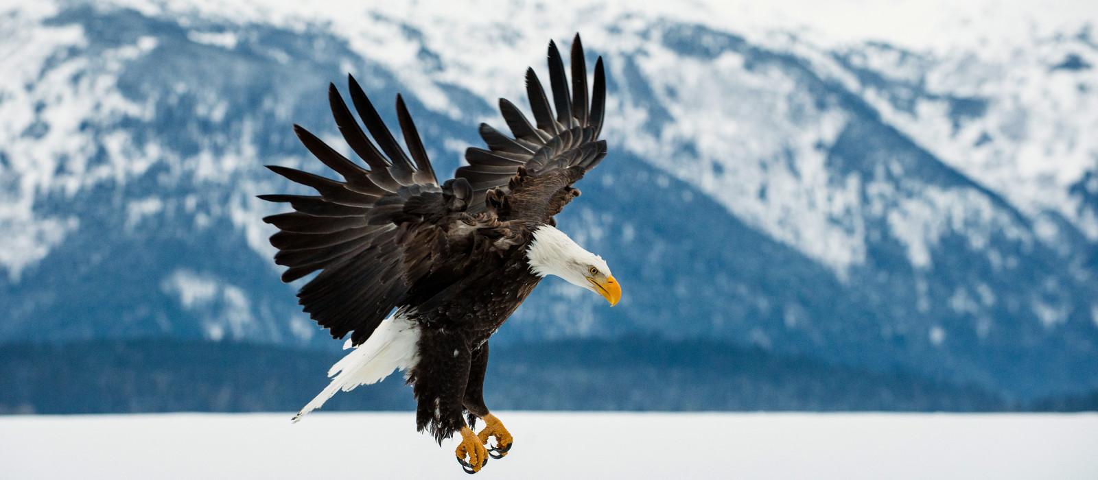 Flying bald eagle in Alaska