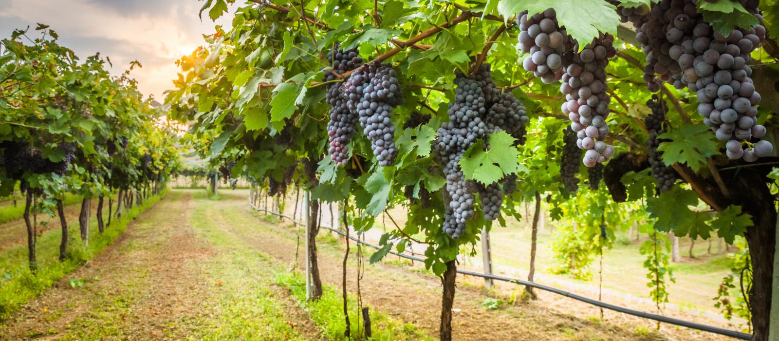 Grape harvest in Napa