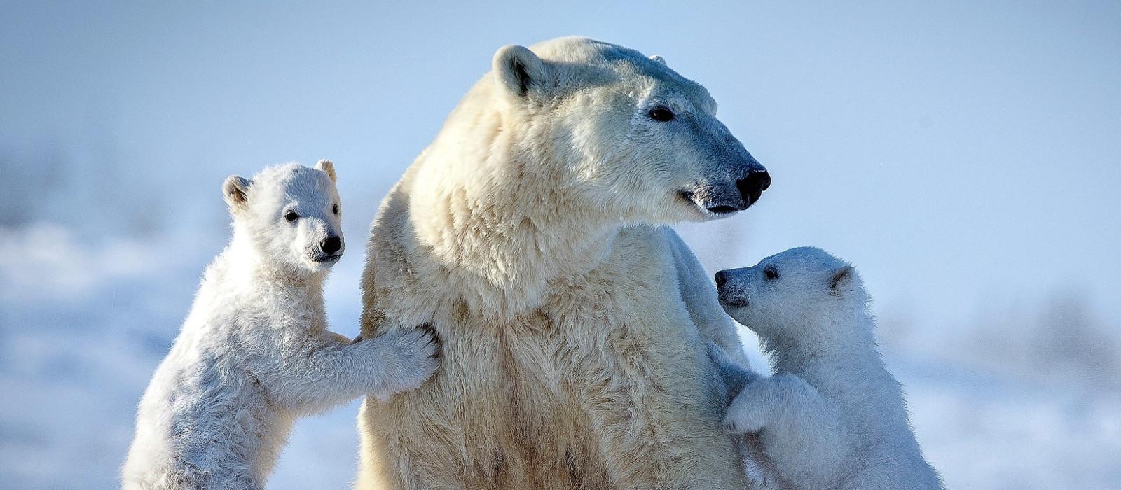Eisbären auf Ellesmere Island, Kanada