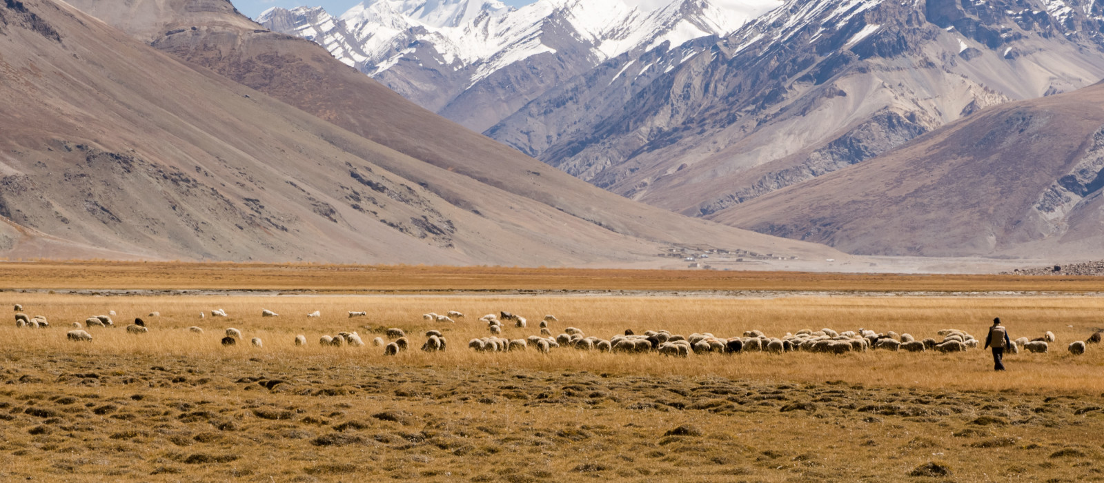 A Nomad with his sheep herd in Zanskar Valley, India