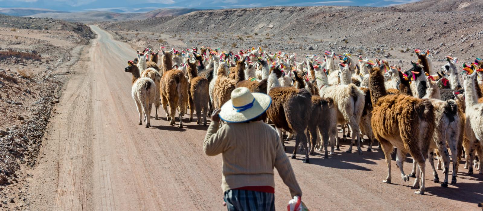 Woman herding llamas on a road near San Pedro de Atacama, Chile, South America
