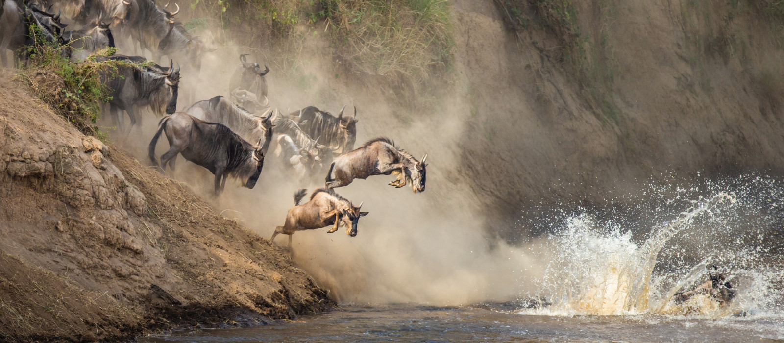 Wildebeests are crossing Mara river. Great Migration. Kenya. Tanzania. Maasai Mara National Park
