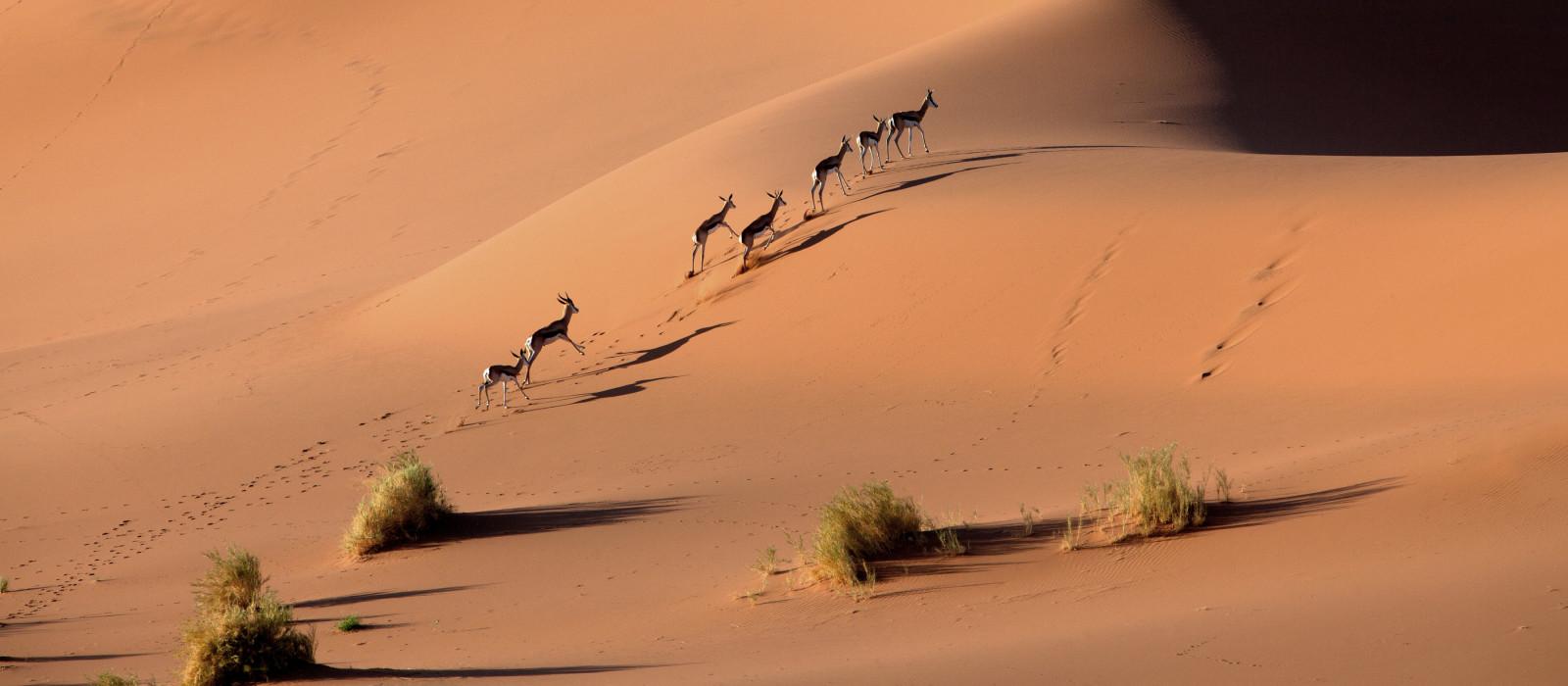 Sringböcke schlendern auf Namibias Wüste