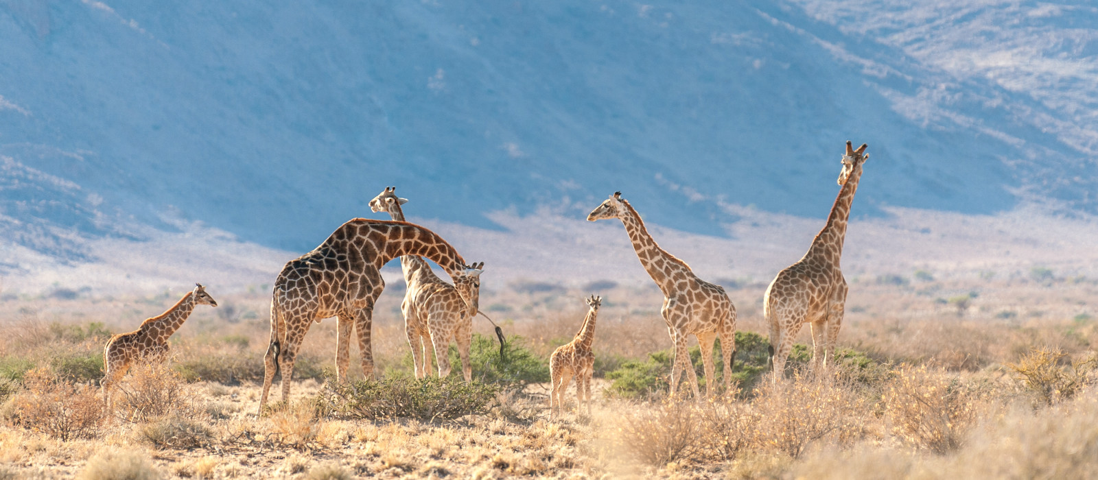 A group of Giraffes grazing in the desert of central Namibia. Hardap Region Namibia