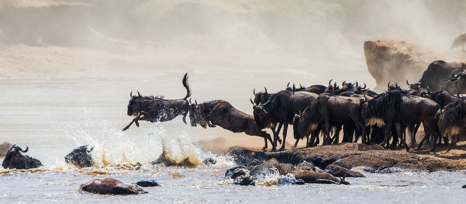 Wildebeest crossing the Mara River during the annual great migration between Tansania and the Masai Mara in Kenya, Africa
