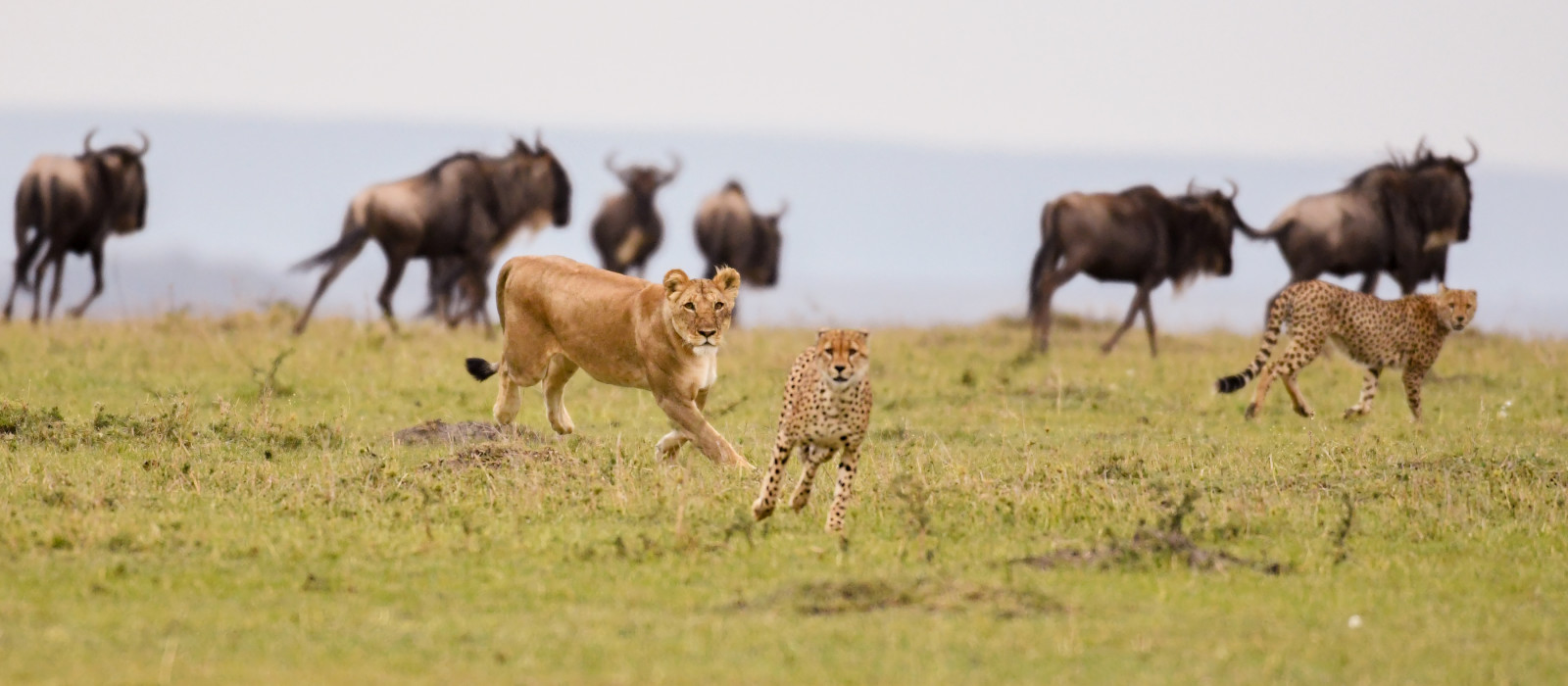 A female lion chases a cheetah with wildebeest in the background in a savannah in Masai Mara Game Reserve, Kenya