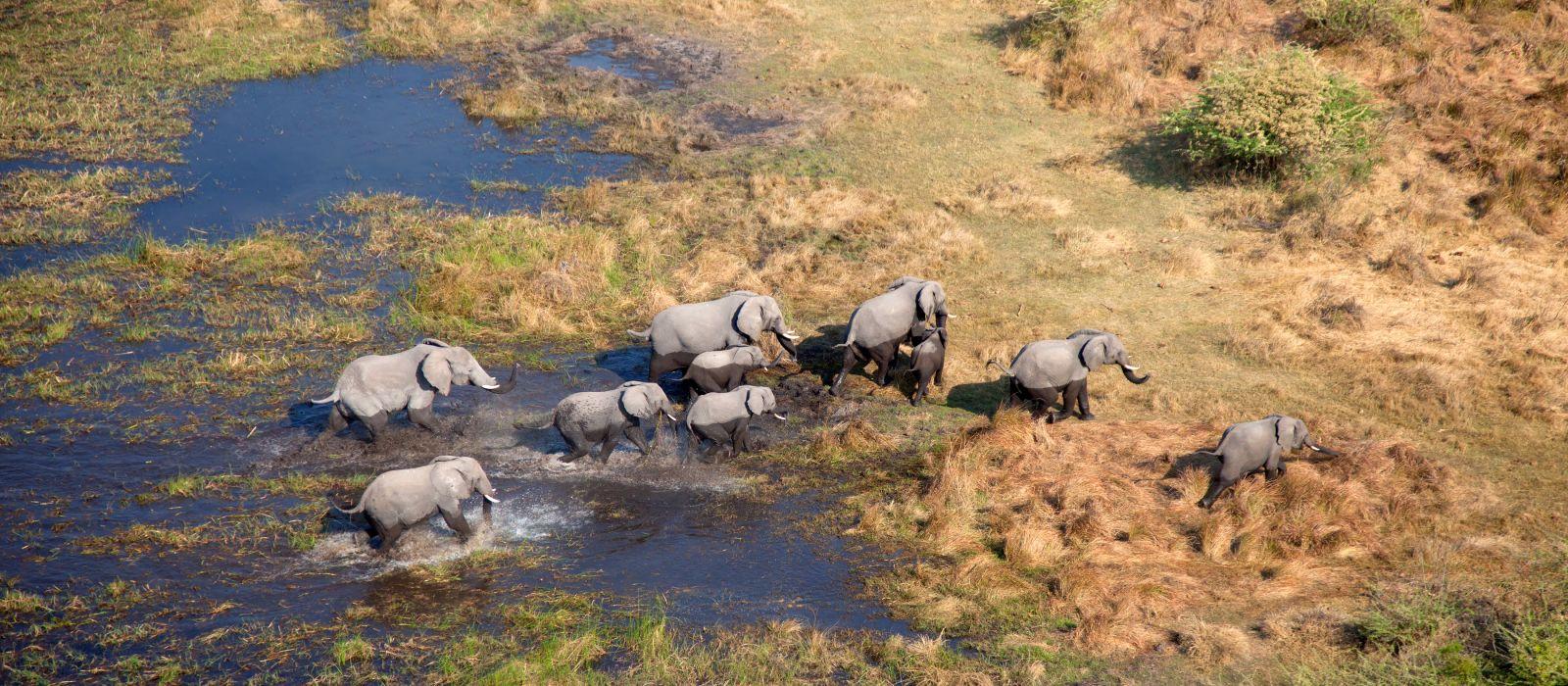 Aerial view of African Elephants Loxodonta africana, Okavango Delta, Botswana, Africa