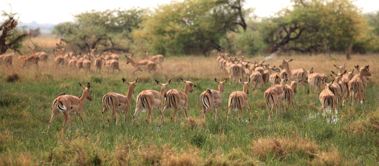 Impala Herd Botswana Okavango delta, Africa