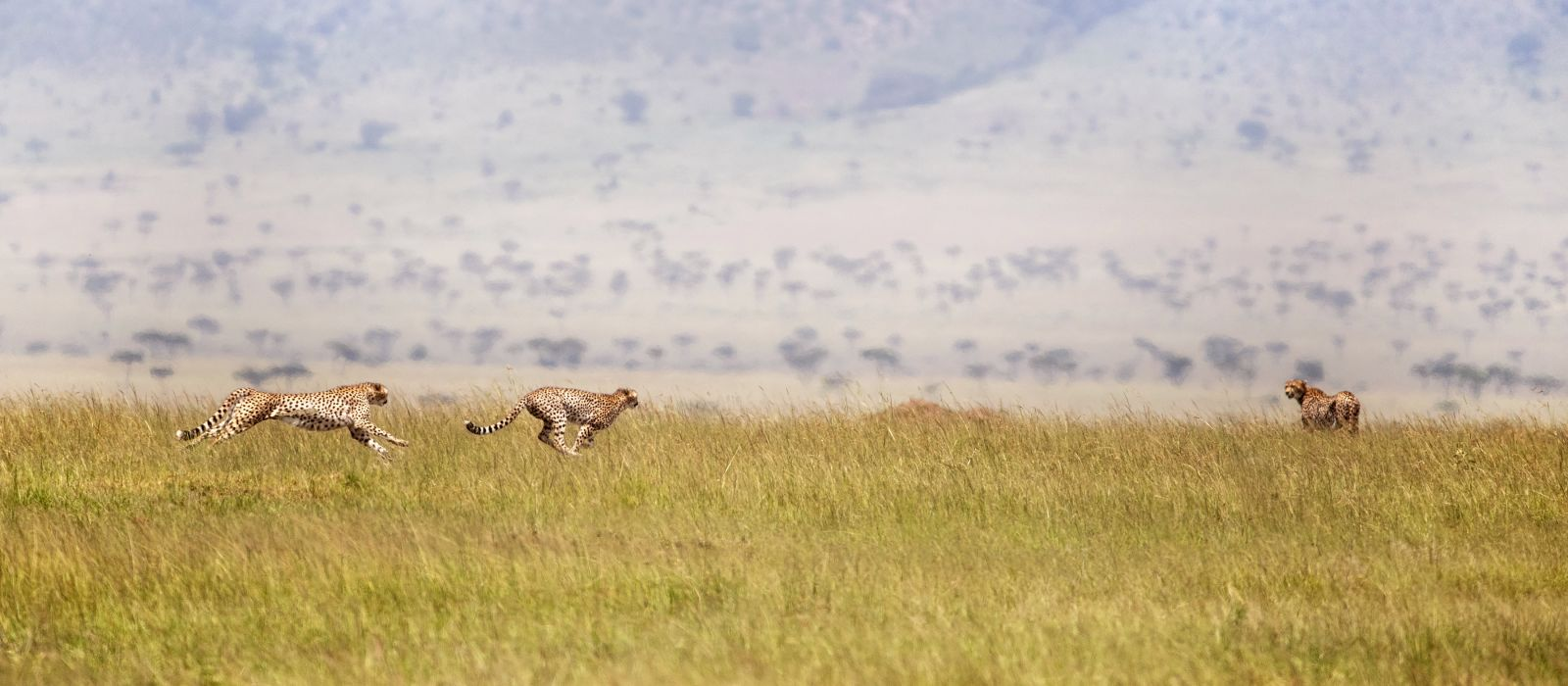 Three cheetahs running through the Masai Mara, Kenya, Africa
