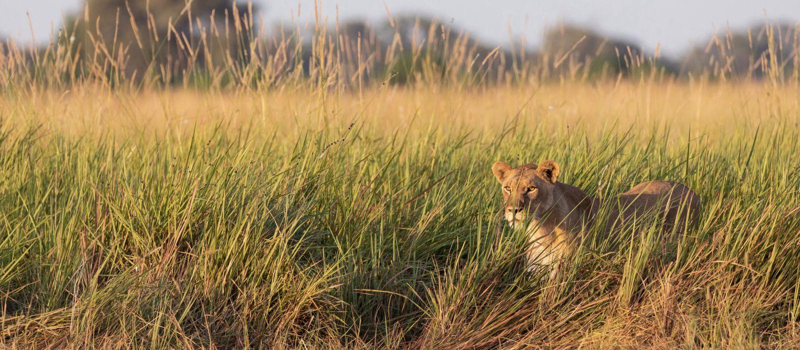 Female Lion walking in the grass in the Okavango Delta, Botswana, Africa