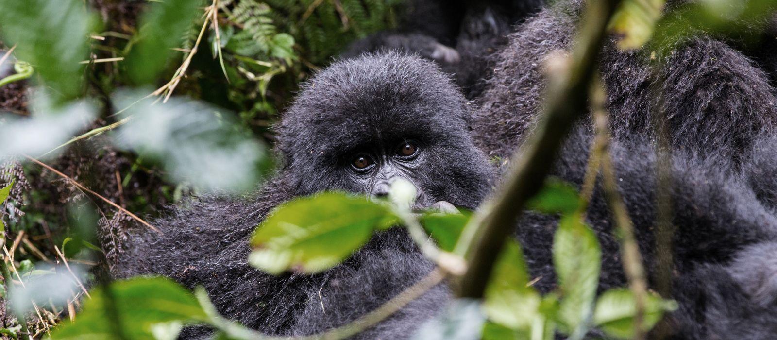 Baby Gorilla in Volcanoes National Park, Rwanda, Africa