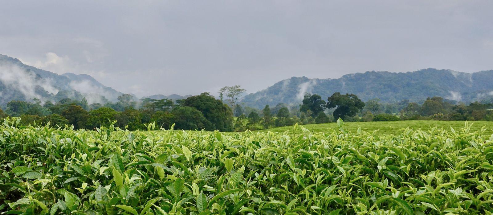Teeplantage und Regenwald, in der Nähe von Nyungwe Nationalpark, Ruanda