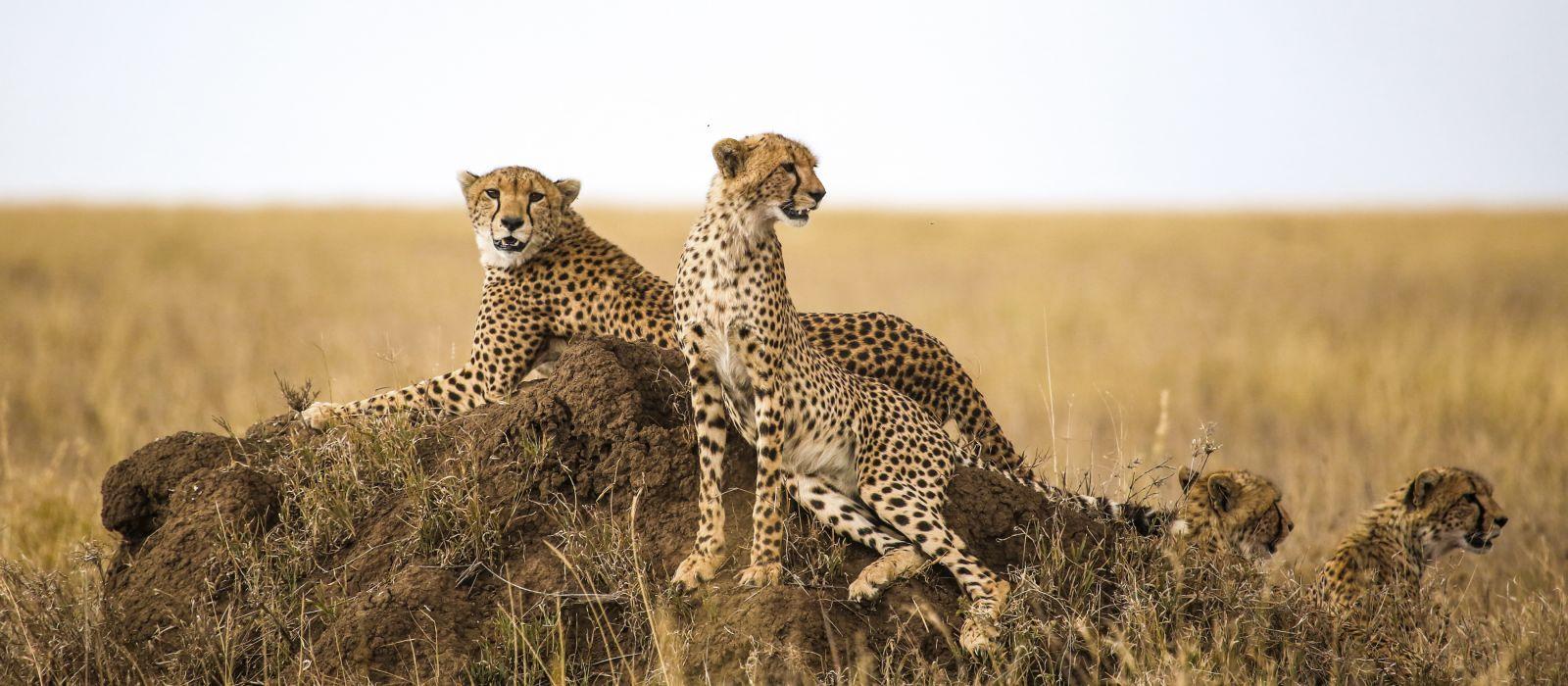 Geparden ruhen auf dem Felsen im Serengeti-Nationalpark, Tansania, Afrika