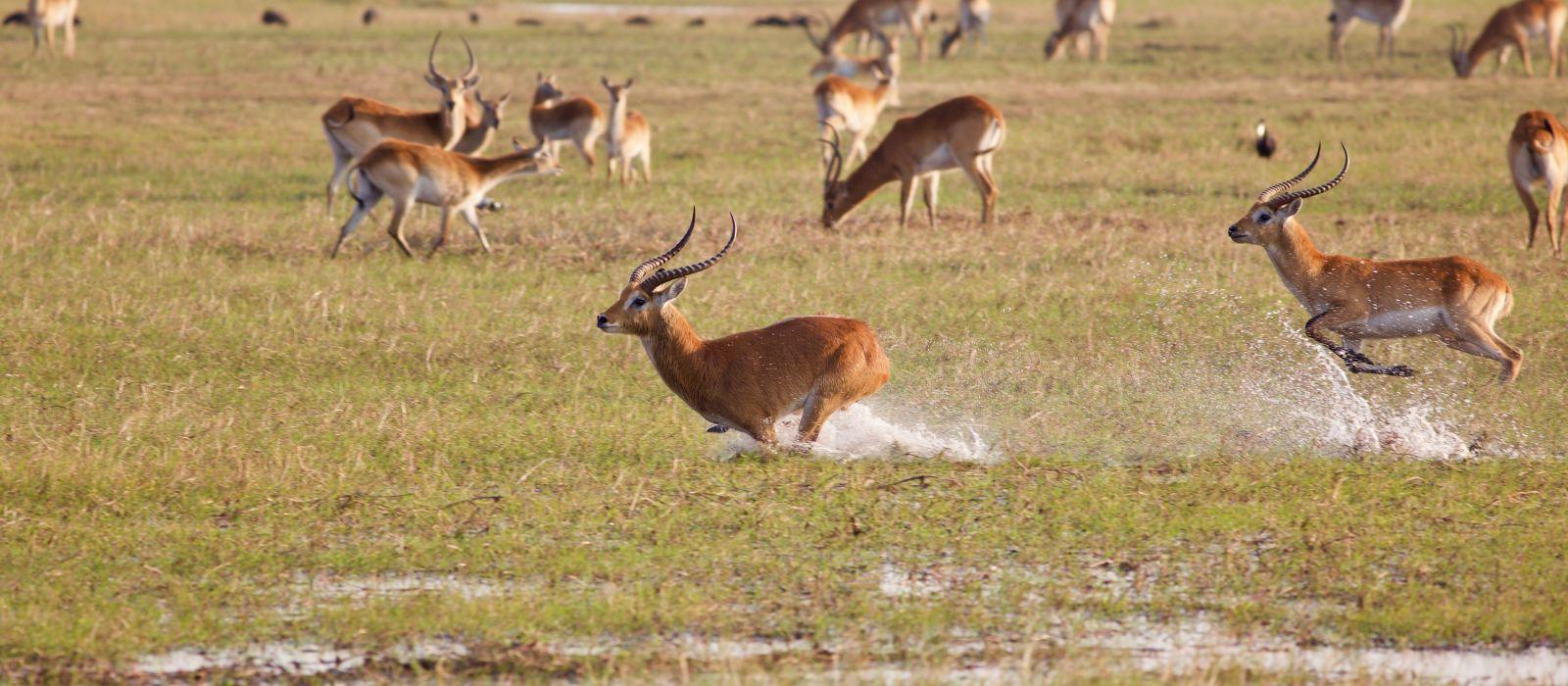 kobus lechwe, Sambia, Afrika