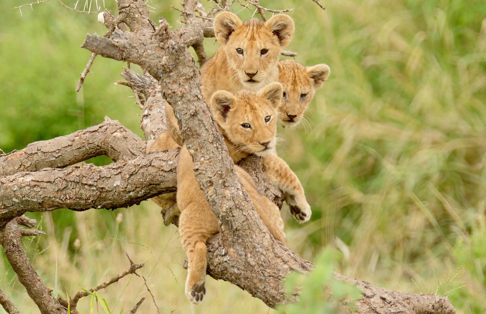 Enchanting Travels Africa Tours - Lion King Safari - a group of lion cubs hanging out in a tree