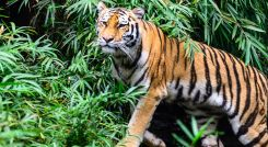 Enchanting Travels India Tours India-Ranthambore-Wild-Bengal-Tiger