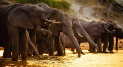 Elephants drink water in Chobe National Park - Botswana - Africa