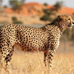 Leopard im Waterberg Nationalpark