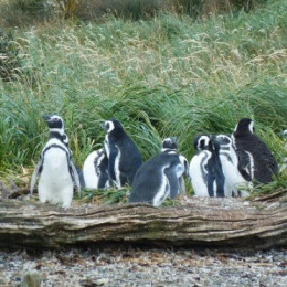 Magellanic penguins in natural environment on Magdalena island in Patagonia, Chile, South America
