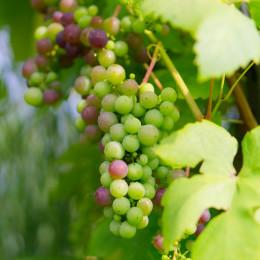 Savignon Blanc grapes in a vineyard in Melilla (Canelones), Uruguay, South America