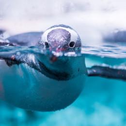 Unterwasseraufnahme eines Eselspinguins in der Antarktis
