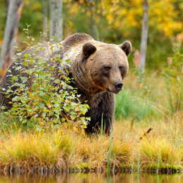 Autumn trees with bear - Summer is the best time to visit Europe