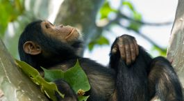 Treffen Sie auf Ruanda Reisen Schimpansen im Nyungwe Forest