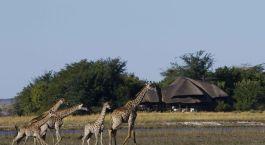 Giraffes in front of Chobe Savanna Lodge in Chobe National Park, Botswana