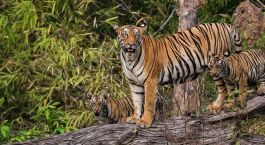 Mother-with-cubs-at-Tadoba-Andhari-Tiger-Reserve-Maharashtra-India-Asia-Enchanting-Travels