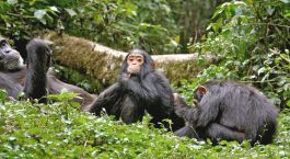 Uganda Safari Highlight: Schimpansen Trekking