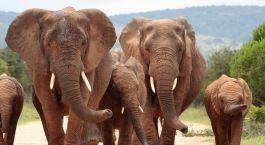 Eastern Cape, Südafrika: Elefanten