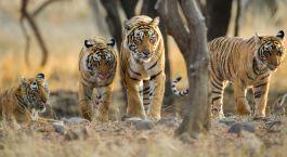 Group of Tigers Safari in India
