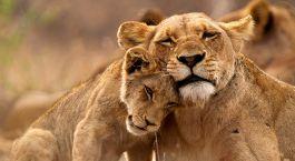 Lions Kruger South Africa Tour