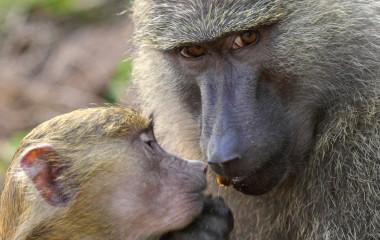 In der Gombe Stream Game Reserve treffen Sie auf freundliche Primaten