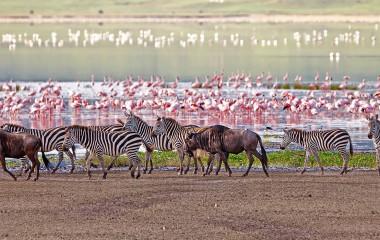 africa-tanzania-manyara-ngorongoro-zebras-flamingos-lake