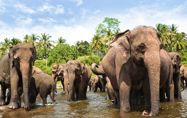 Elephants at Yala Nationalpark Sri Lanka