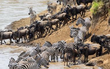 Zebras und Gnus durchqueren einen Fluss in der Masai Mara in Afrika
