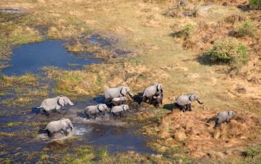 Aerial view of African Elephants Loxodonta africana, Okavango Delta, Botswana, Africa - Botswana safari tour