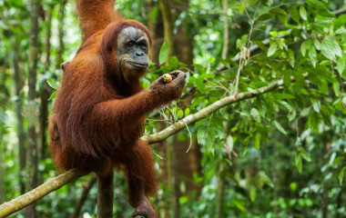 Orangutan in the wild, Sumatra, Indonesia